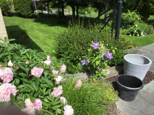 Peonies and Clematis